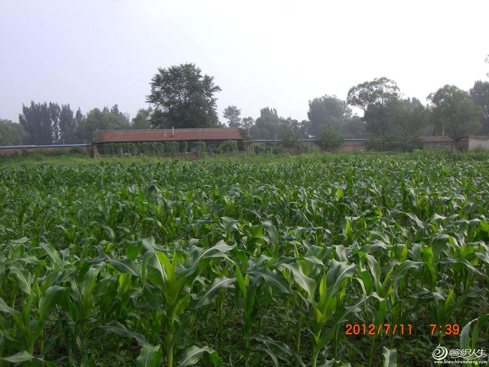 成长中的玉米地.JPG