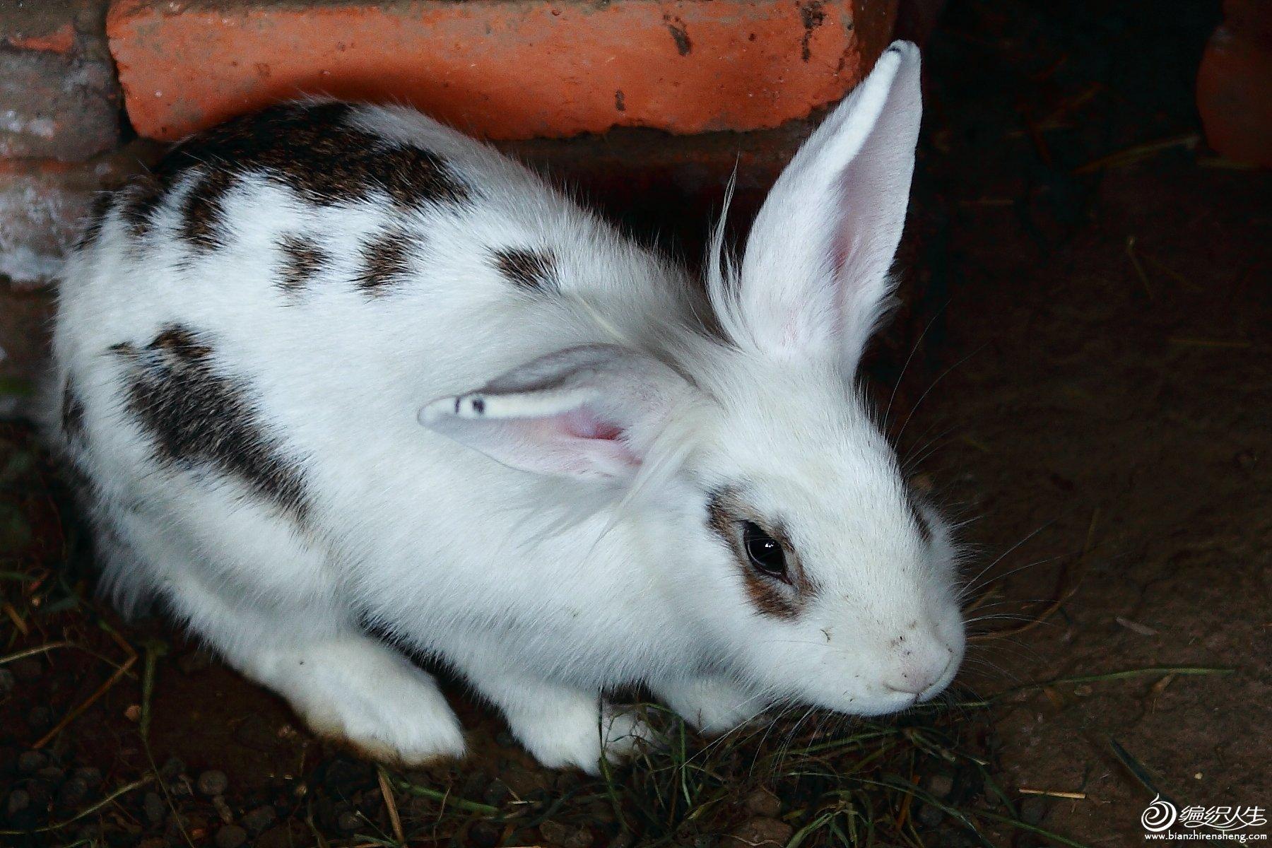 黑白花兔.JPG