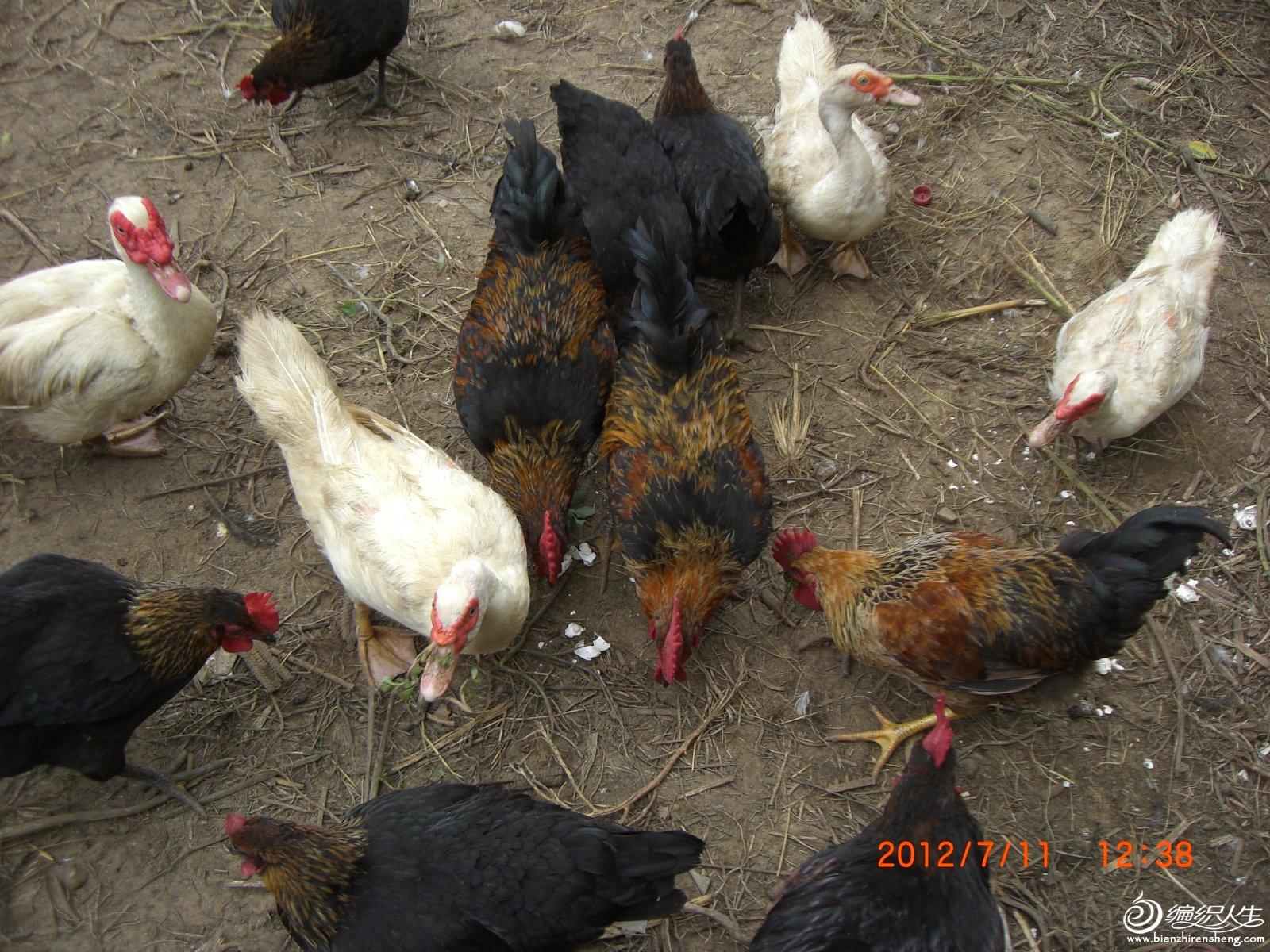 一群鸡在吃食.JPG