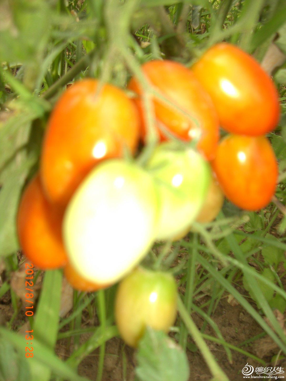 樱桃西红柿.JPG