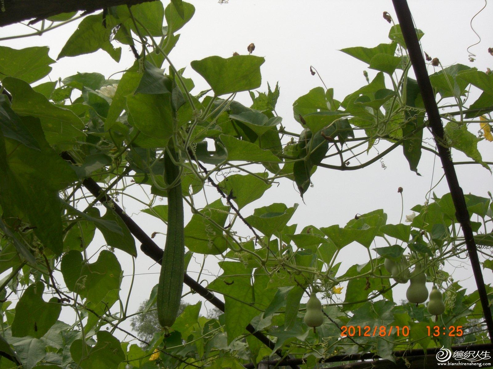 丝瓜和葫芦.JPG