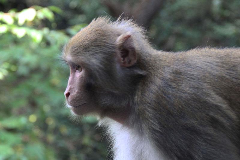 张家界的猴子