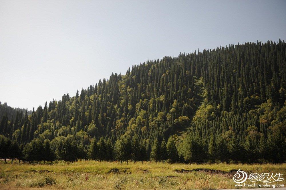 7,雪岭云杉树新疆的省树(每年只生长1.5cm左右)看到如此秀气的树已经是200年左右的树.jpg