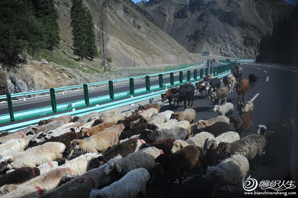 18,正在迁徙中的哈萨克家庭,要带着自己的牛羊群走在高速公路上。车就得让它们哦。.jpg