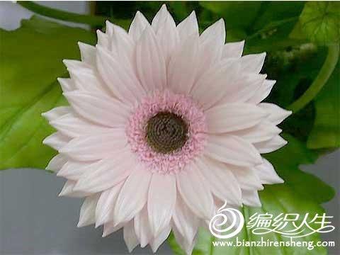 非洲菊.jpg