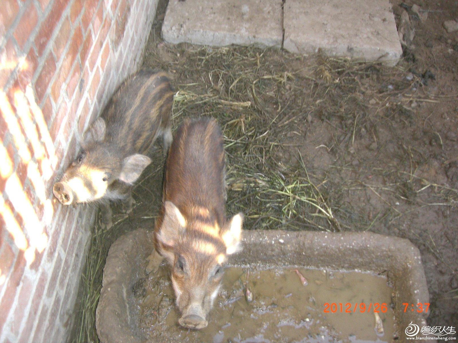小猪2.JPG