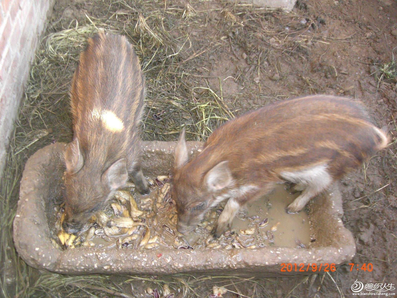 小猪4.JPG