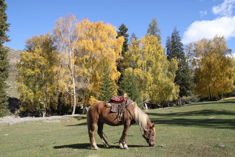 白哈巴的马