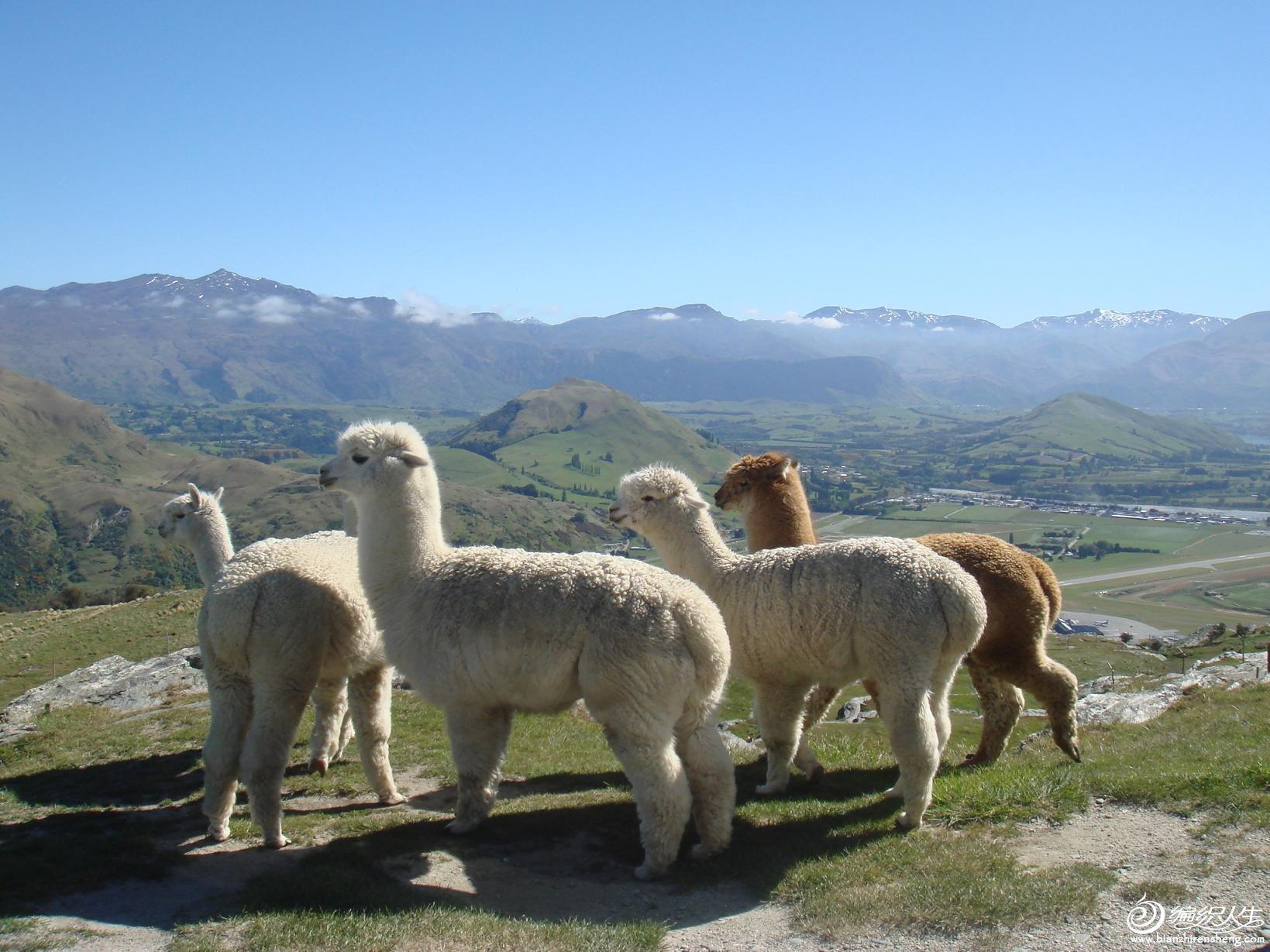 羊驼2.jpg