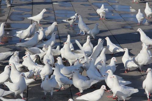 象征着和平的鸽子