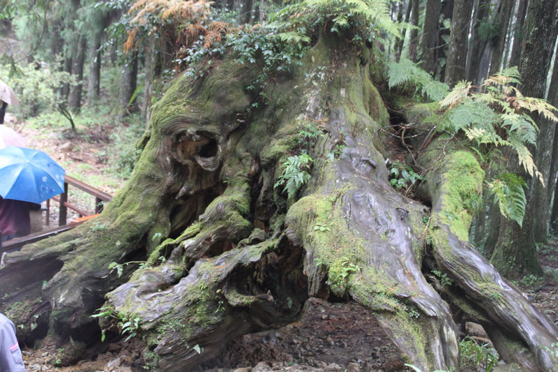 阿里山象树