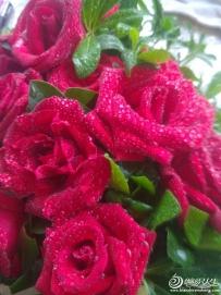 娇艳欲滴的玫瑰