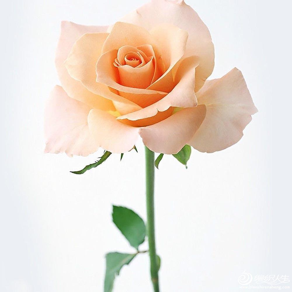 ジ 色音の琪琪格 La Vie En Rose 玫瑰人生